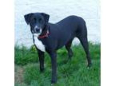 Adopt PATSY a Black Labrador Retriever / Mixed dog in Slinger, WI (25161299)