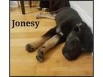 Adopt Jonesy a Black - with White Bearded Collie / Labrador Retriever / Mixed