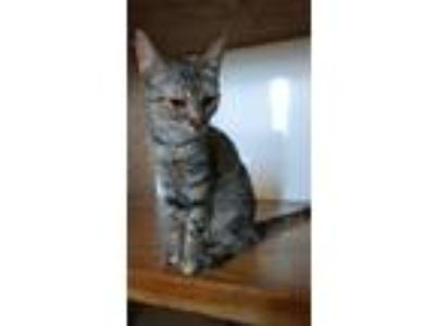 Adopt Stella a Domestic Short Hair, Torbie