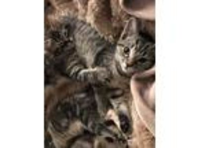 Adopt Sebrina a Brown Tabby Domestic Shorthair (short coat) cat in Lombard