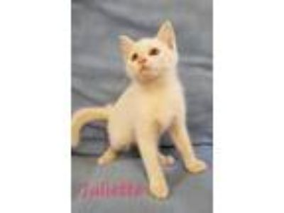 Adopt Juliette a Domestic Short Hair