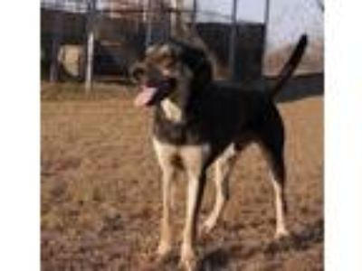 Adopt Justin a Black - with Tan, Yellow or Fawn Shepherd (Unknown Type) / Hound