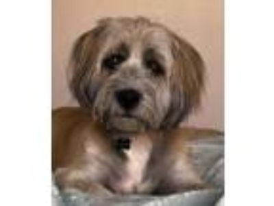 Adopt Charles a Wheaten Terrier / Terrier (Unknown Type, Medium) / Mixed dog in