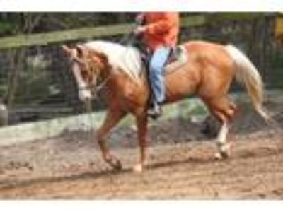 Horse for sale or lease Registered Mare Palomino Quarter Horse