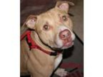 Adopt Omega a Tan/Yellow/Fawn American Pit Bull Terrier / Mixed dog in