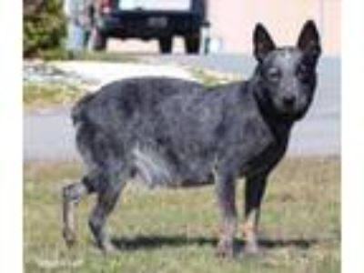 Adopt Ethel a Cattle Dog