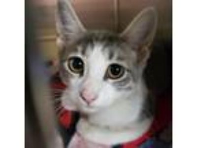 Adopt Pea a Domestic Short Hair
