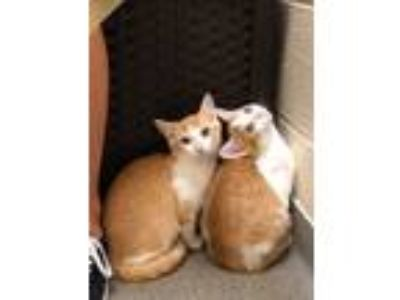 Adopt MADDOX and MILES - bonded kittens a Domestic Short Hair