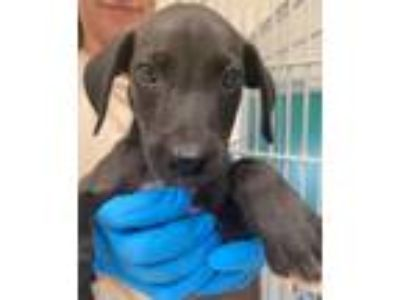 Adopt 42173988 a Catahoula Leopard Dog, Mixed Breed
