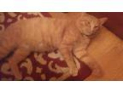 Adopt Sammy a Orange or Red Tabby Havana Brown cat in Columbus, OH (24792354)