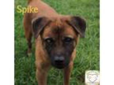 Adopt Spike a Chow Chow / Akita / Mixed dog in Washburn, MO (24081004)