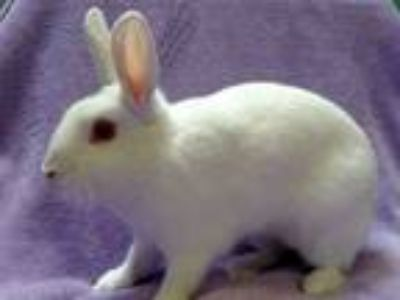 Adopt CECILY a Other/Unknown / Mixed (medium coat) rabbit in San Clemente