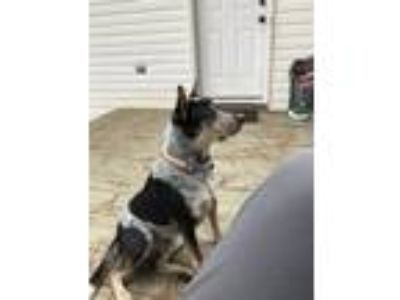 Adopt Jet a Gray/Silver/Salt & Pepper - with Black Australian Cattle Dog dog in