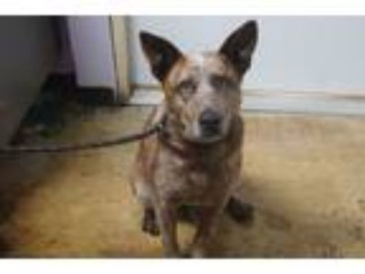 Adopt Ginger a Cattle Dog