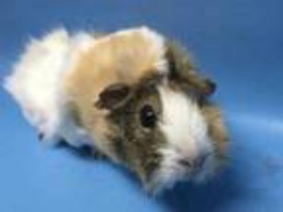 Adopt Bacon a White Guinea Pig / Mixed small animal in Coon Rapids