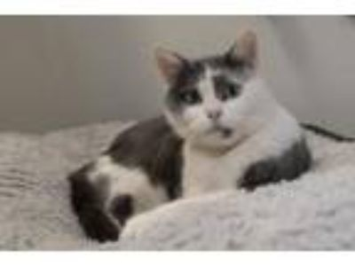 Adopt Lady Willa a Domestic Short Hair