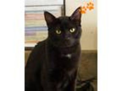 Adopt Fester a Domestic Shorthair / Mixed (short coat) cat in Novato