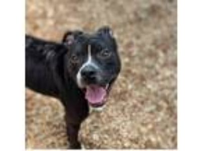 Adopt Posey a Black - with White American Staffordshire Terrier / Mixed dog in