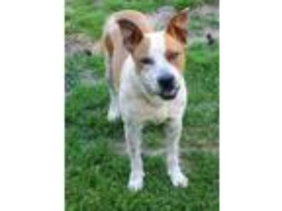 Adopt Tempe * a White - with Tan, Yellow or Fawn Australian Cattle Dog / Terrier