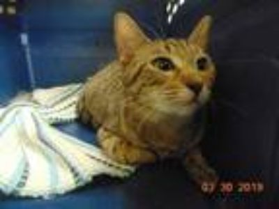 Adopt VIOLET a Brown Tabby Domestic Shorthair / Mixed (short coat) cat in