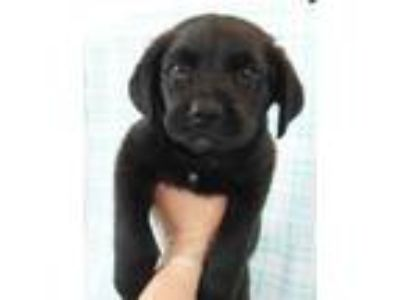 Adopt Blaze a Black Chow Chow / Mixed dog in Morton Grove, IL (25538249)