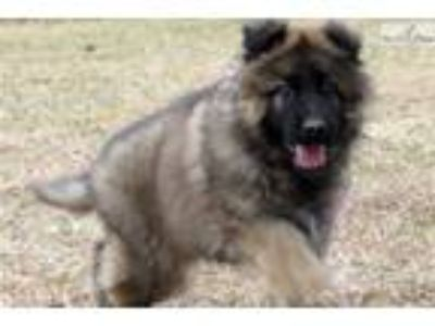 Handsome Long Coat Sable Male