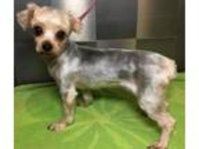 Adopt Jelly SDR in TX a Yorkshire Terrier