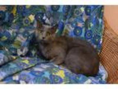 Adopt Dulcina a Gray or Blue Russian Blue cat in Westmont, IL (25646243)
