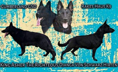AKC Black German Shepherd Puppies