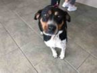 Adopt GYPSY a Australian Cattle Dog / Blue Heeler