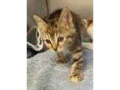 Adopt Turtle Sundae a Brown or Chocolate Domestic Shorthair / Domestic Shorthair