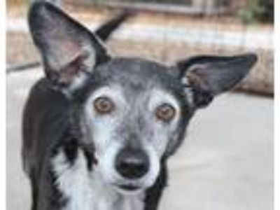 Adopt Leslie a Black Dachshund / Mixed dog in Hilton Head, SC (25278285)