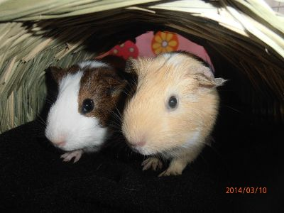 Three Guinea Pigs Free with cage