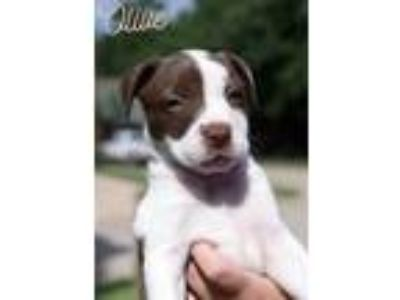 Adopt Olive a Brown/Chocolate - with White American Pit Bull Terrier / Mixed dog