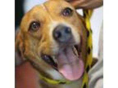 Adopt HUGGER (5282) a Brown/Chocolate - with White Labrador Retriever dog in