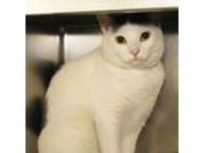 Adopt Scorpio a White Domestic Shorthair / Domestic Shorthair / Mixed cat in