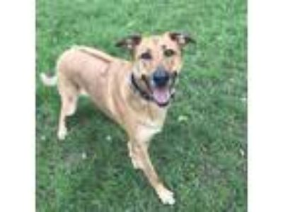 Adopt Bella Boa a Red/Golden/Orange/Chestnut German Shepherd Dog / Rhodesian