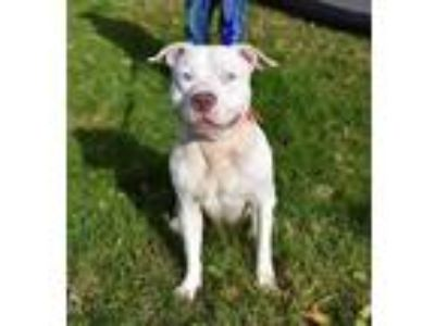 Adopt Blizzy a White American Pit Bull Terrier / Mixed dog in South Abington