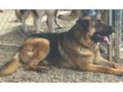 Adopt Kip a Red/Golden/Orange/Chestnut German Shepherd Dog / Mixed dog in Prole