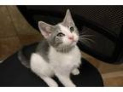 Adopt COMET a Gray or Blue (Mostly) Domestic Shorthair / Mixed (short coat) cat