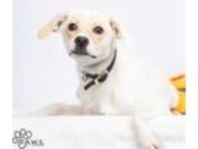 Adopt Ginny a White Jack Russell Terrier / Rat Terrier / Mixed dog in Tinley