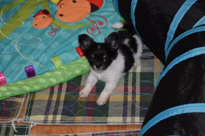 Chihuahua PUPPY FOR SALE ADN-80730 - TINY Blk Tri