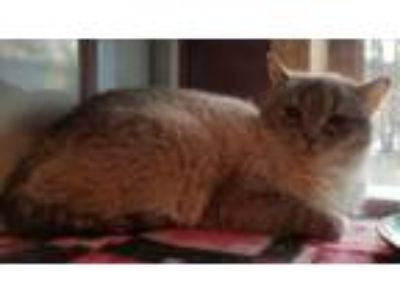 Adopt Nickel a Siamese, Domestic Short Hair