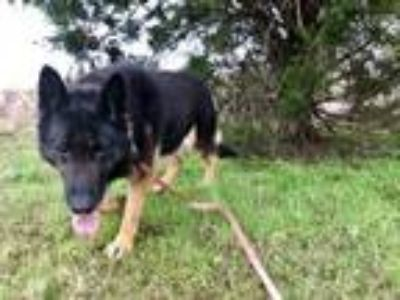 Adopt Thor a German Shepherd Dog