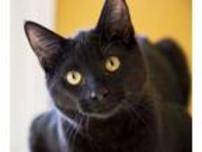 Adopt Tully a Domestic Medium Hair
