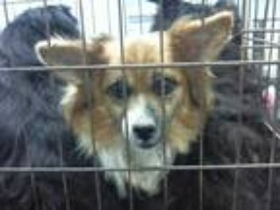 Adopt LINDA a Tan/Yellow/Fawn - with White Corgi / Mixed dog in Charlotte