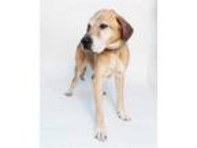 Adopt a Tan/Yellow/Fawn - with Black Treeing Walker Coonhound / Labrador