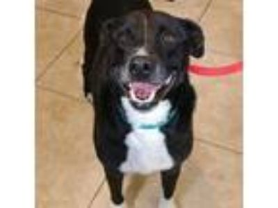 Adopt Candy a Black - with White Labrador Retriever / Coonhound (Unknown Type) /