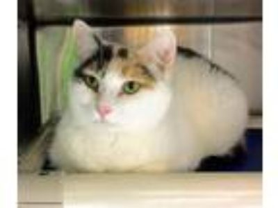 Adopt Gracie a Domestic Shorthair / Mixed (short coat) cat in Clinton