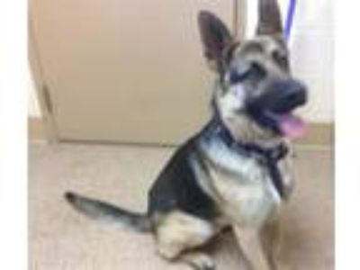 Adopt Romeo a German Shepherd Dog